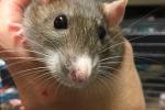 Ratties 4