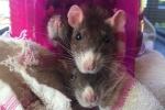 Ratties 5