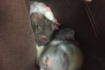 Ratties 8